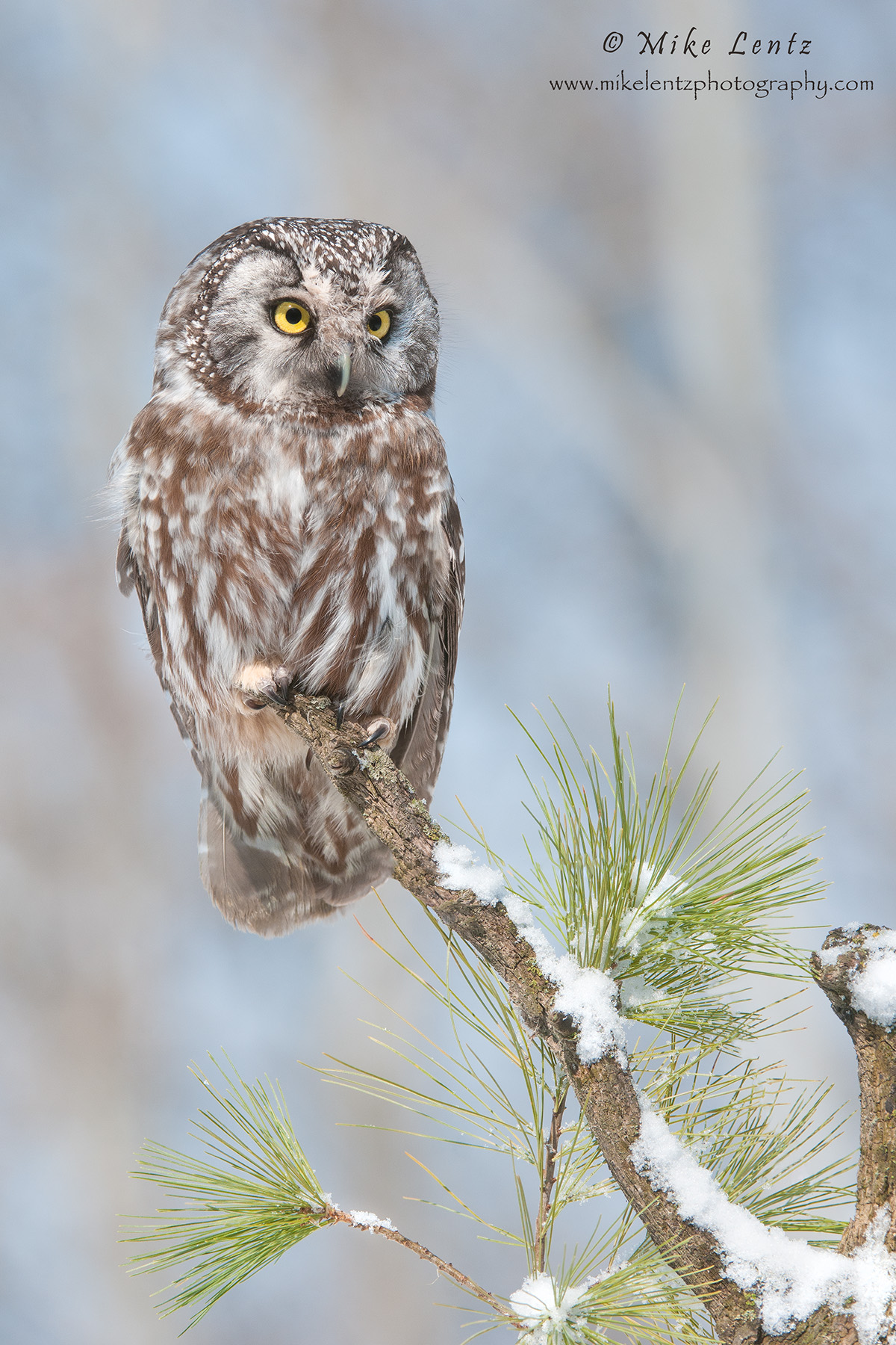 Boreal Owl on perch in pines