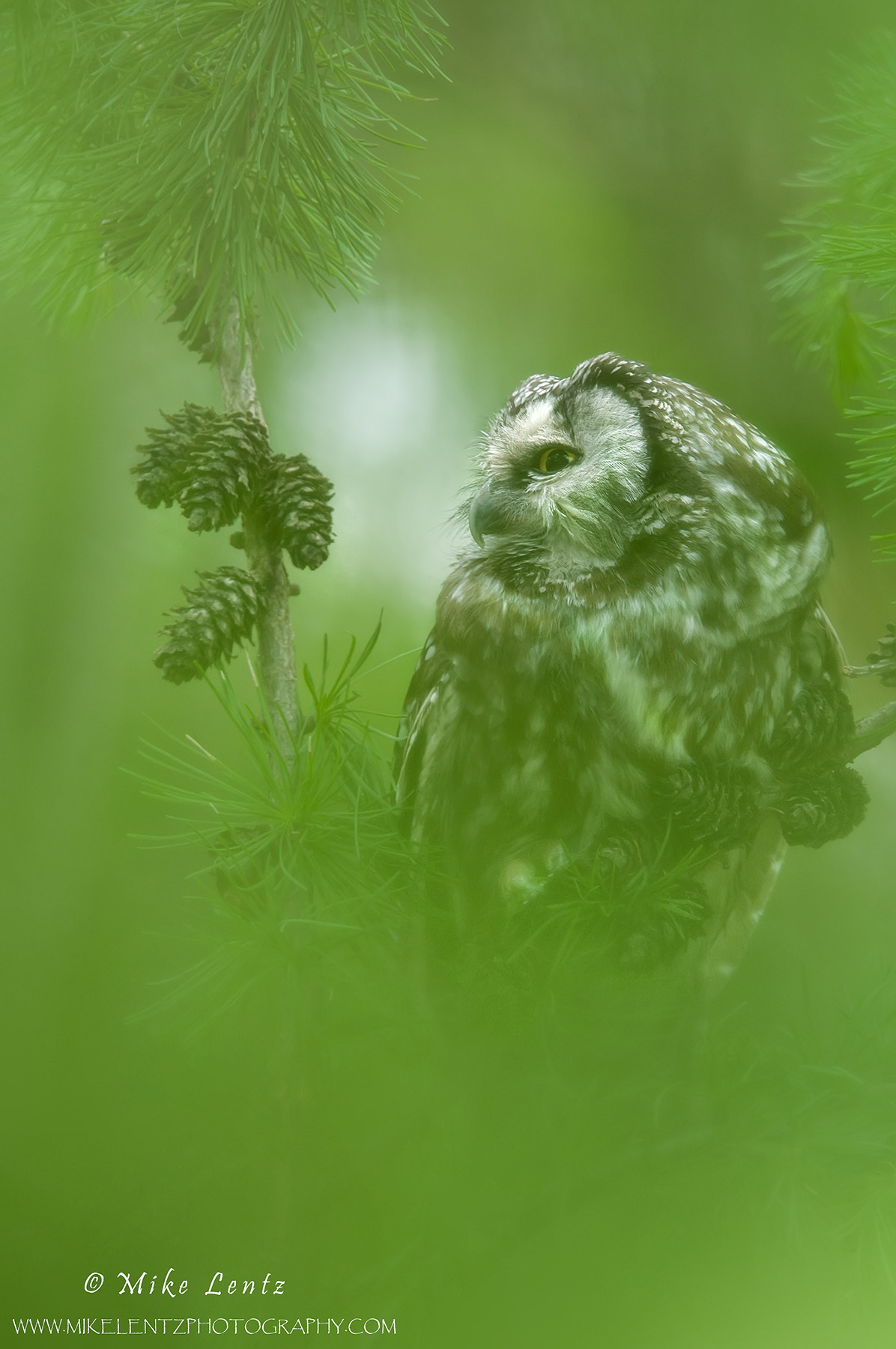 Boreal Owl through thick Tamarack trees