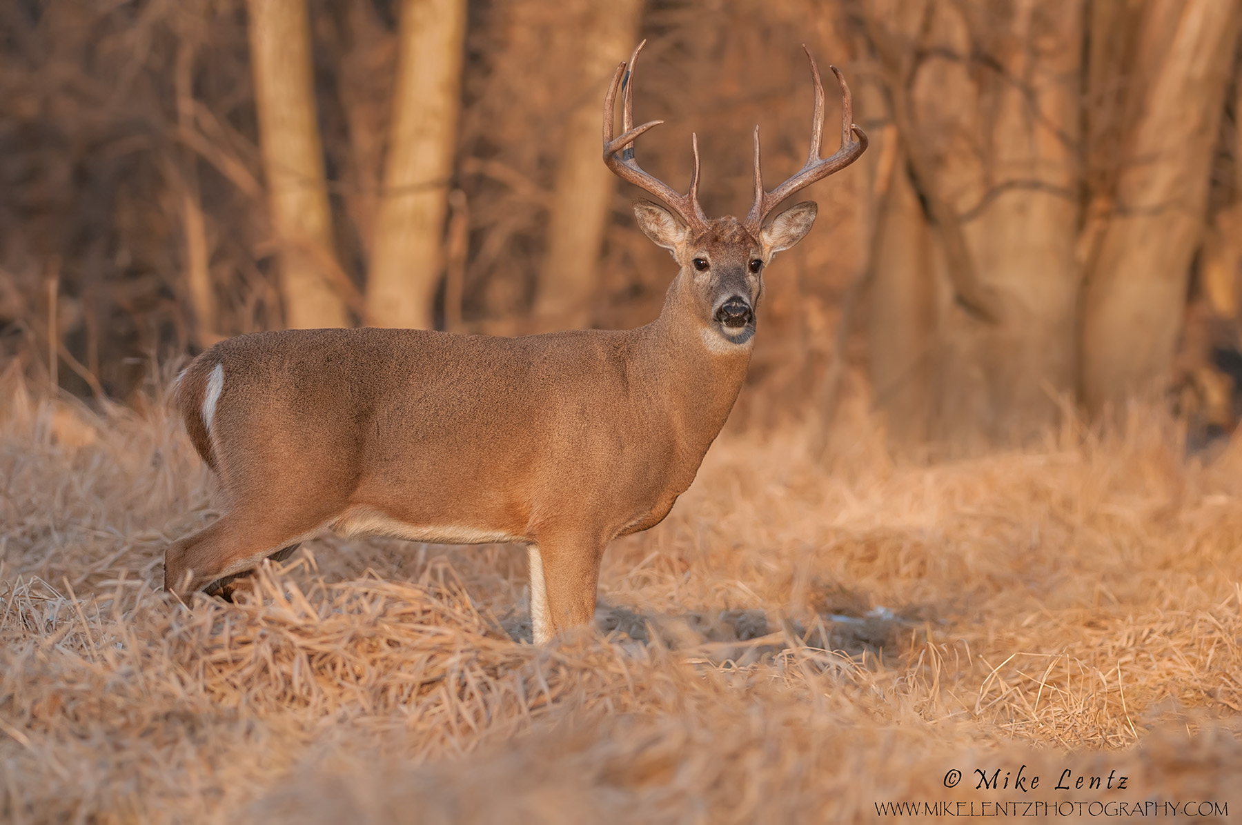 Buck Goldie in sweet light