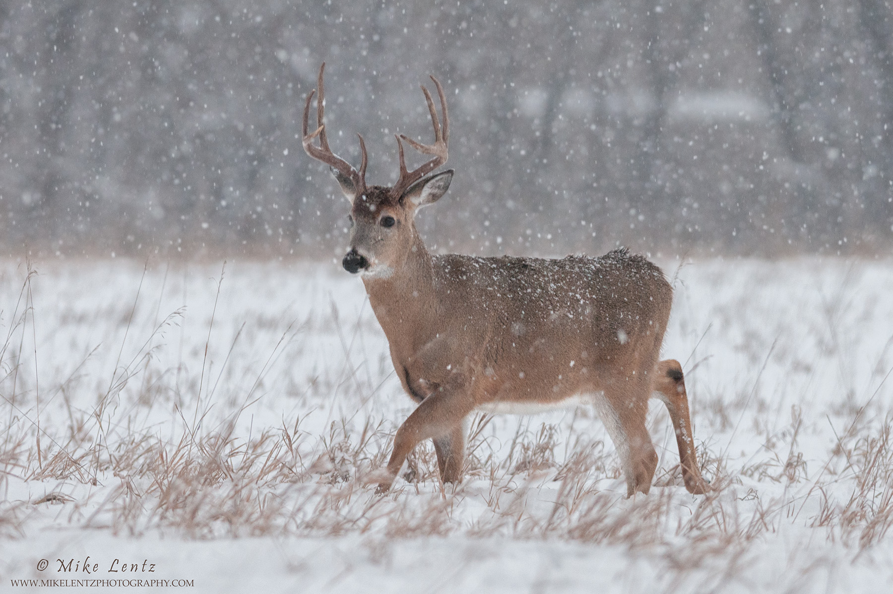 Buck Goldie walks in snowfall