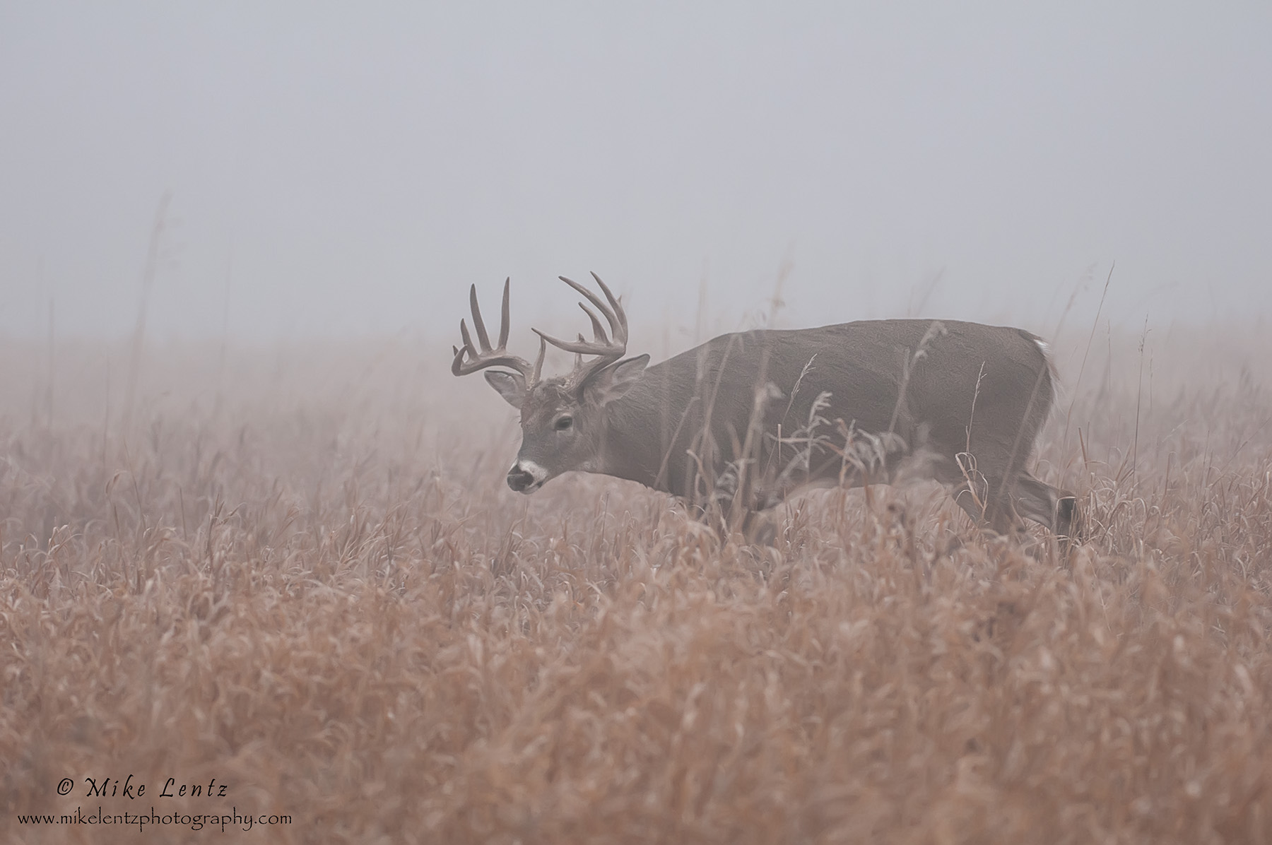 Buck Nugget in foggy field