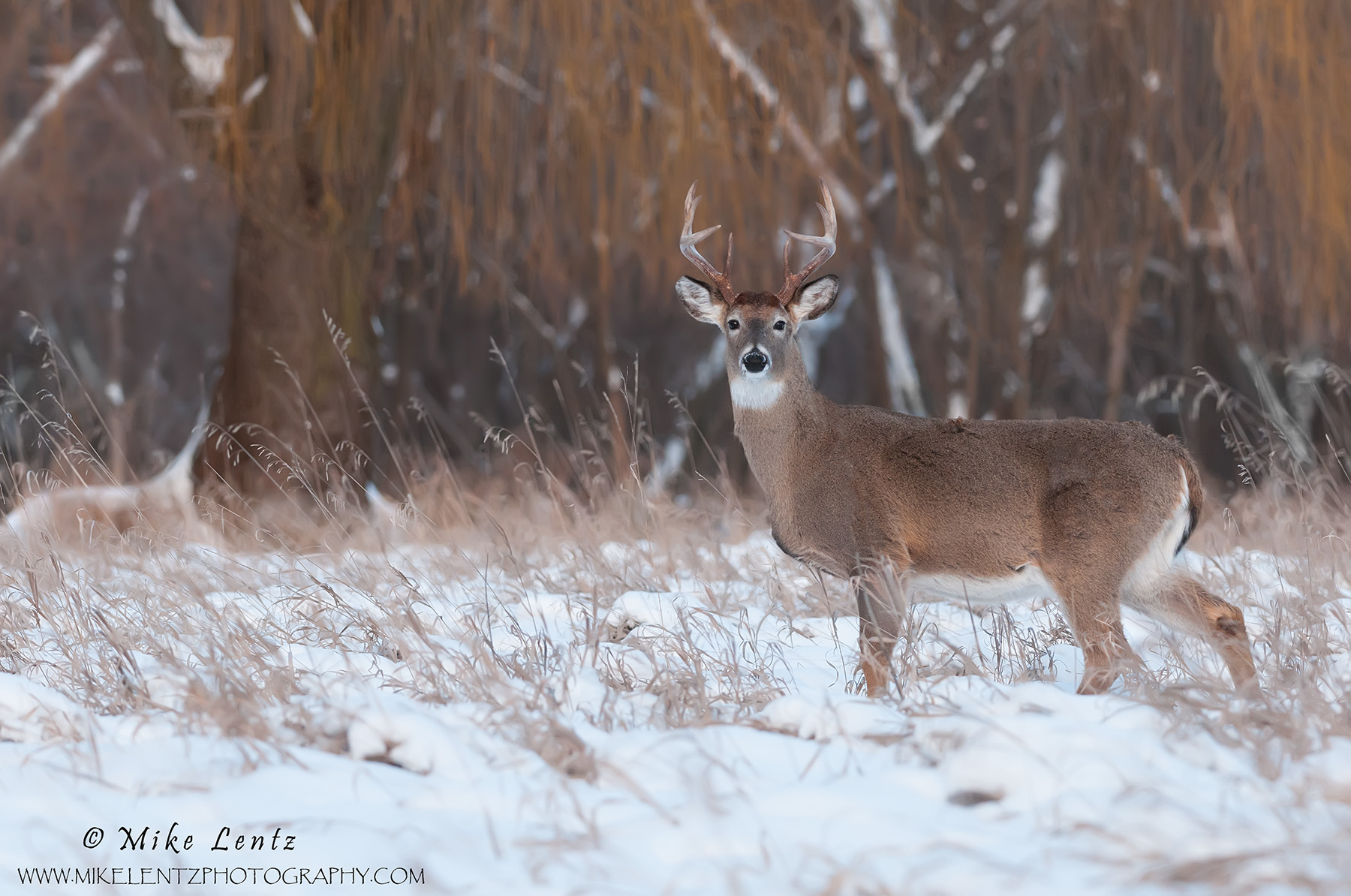 Whitetailed deer near winter willow tree