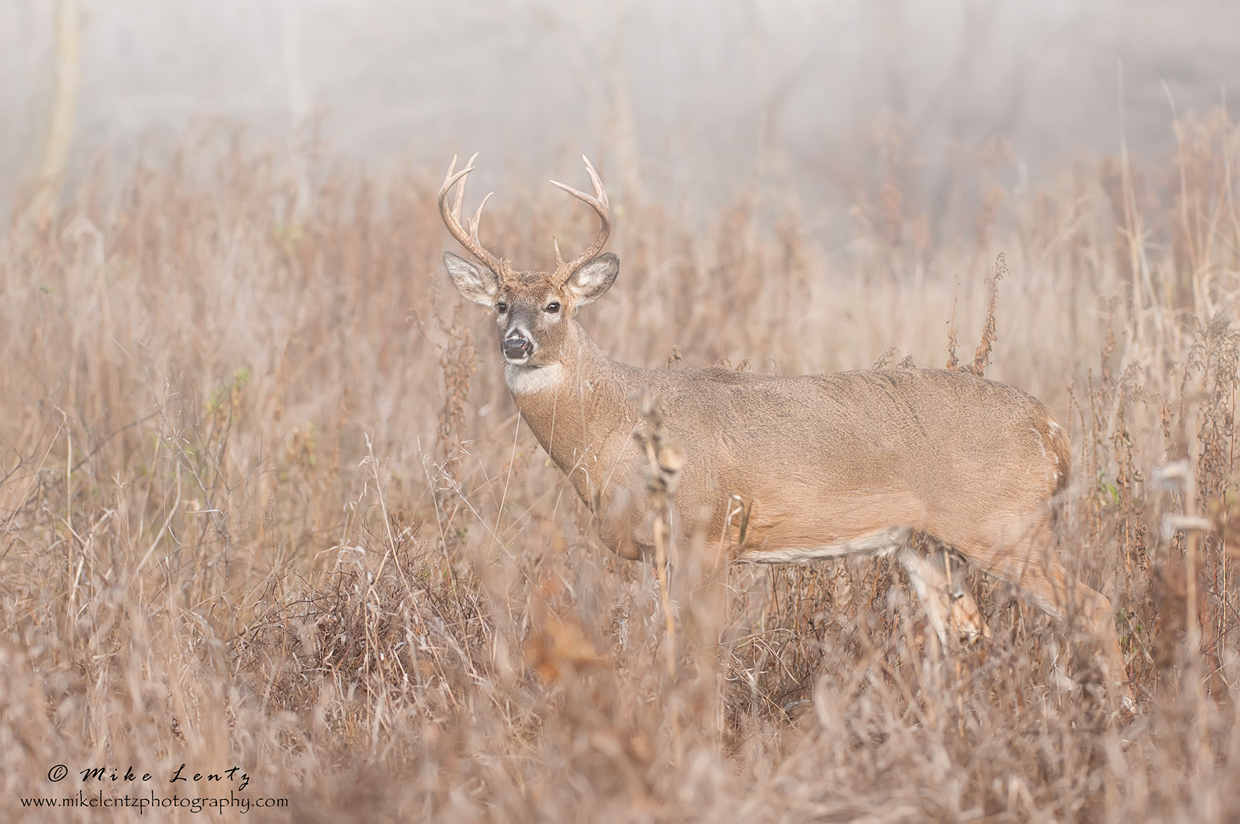 Buck in foggy field