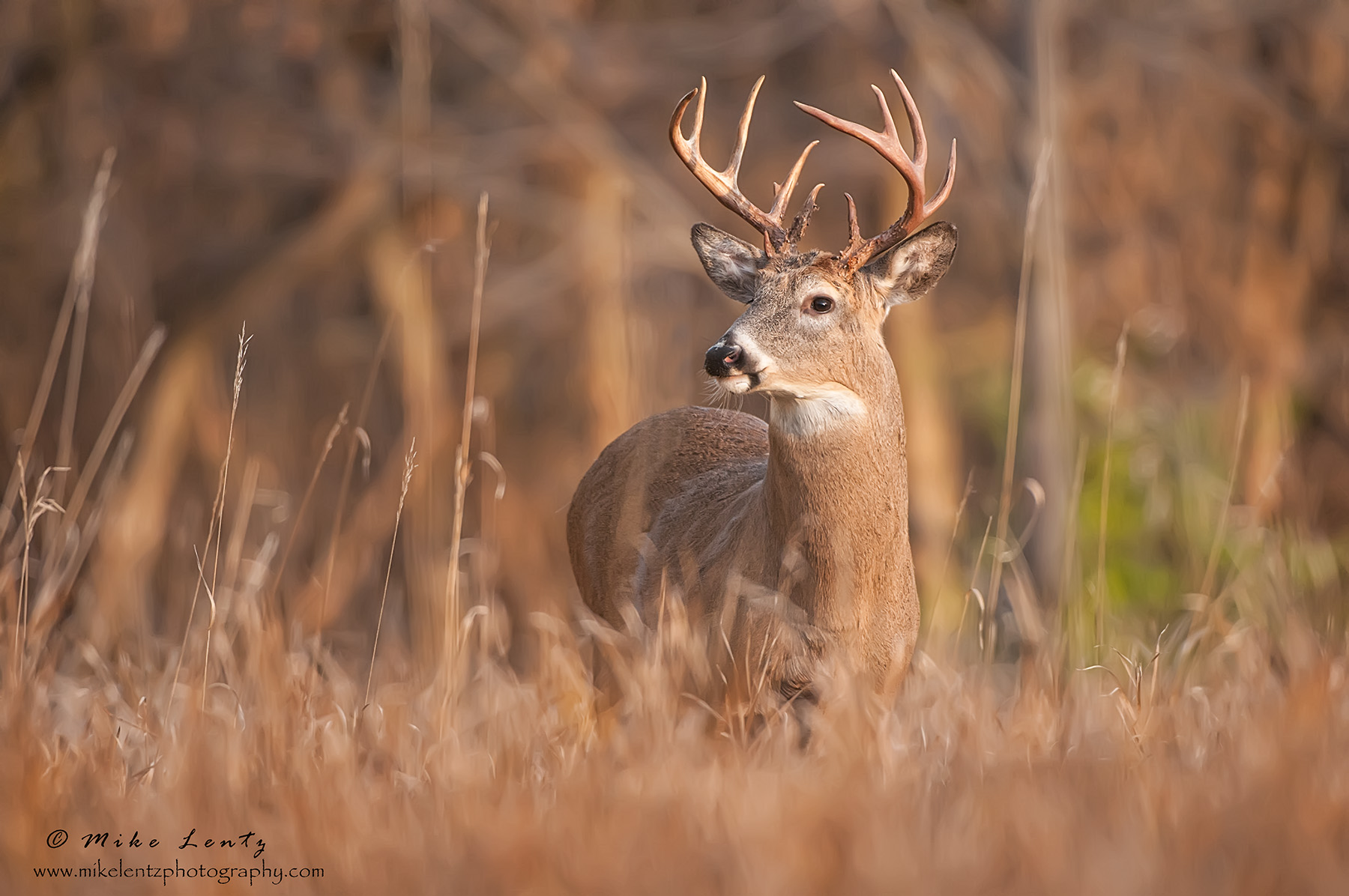 Buck in golden morning light