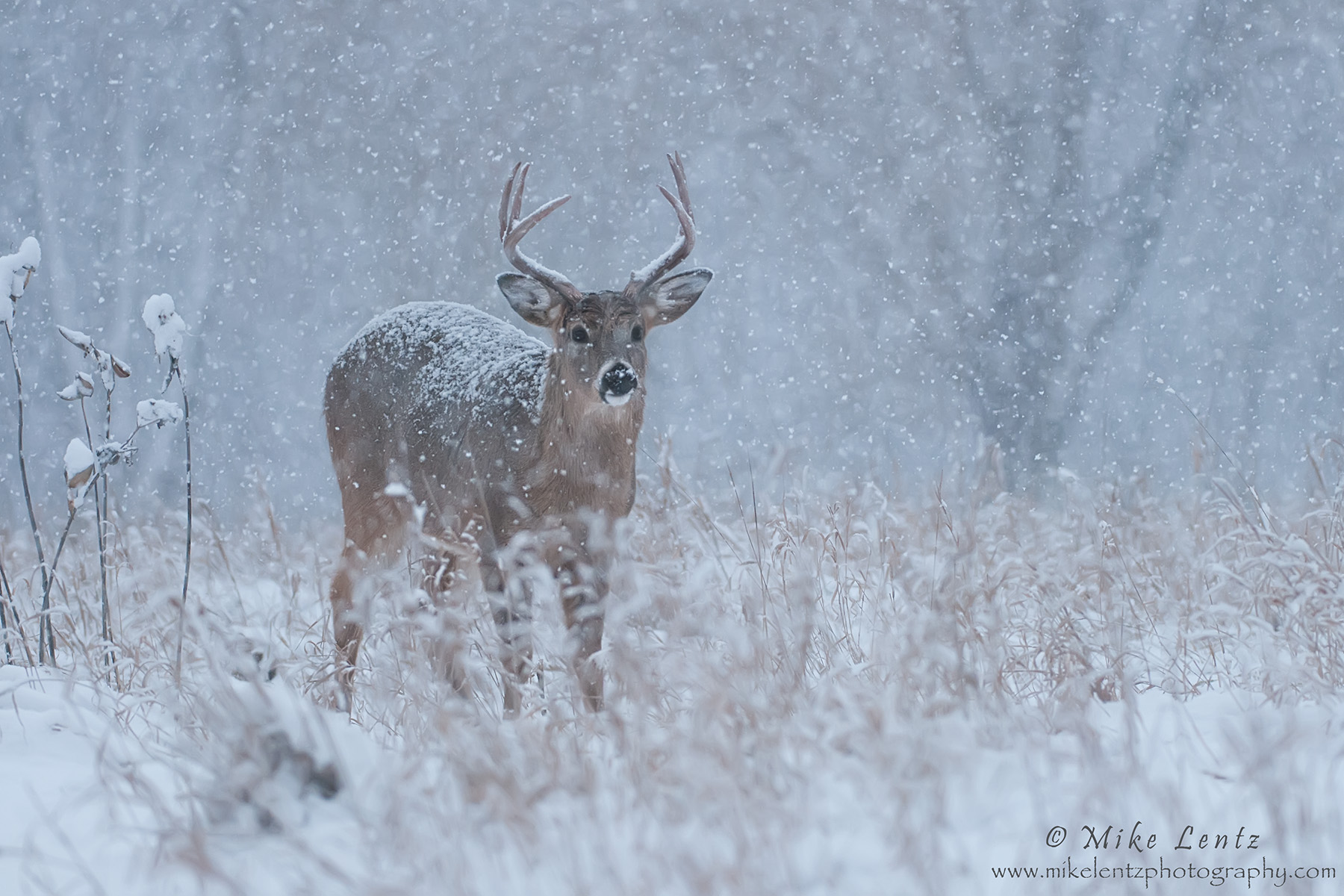 Buck in wintery mix