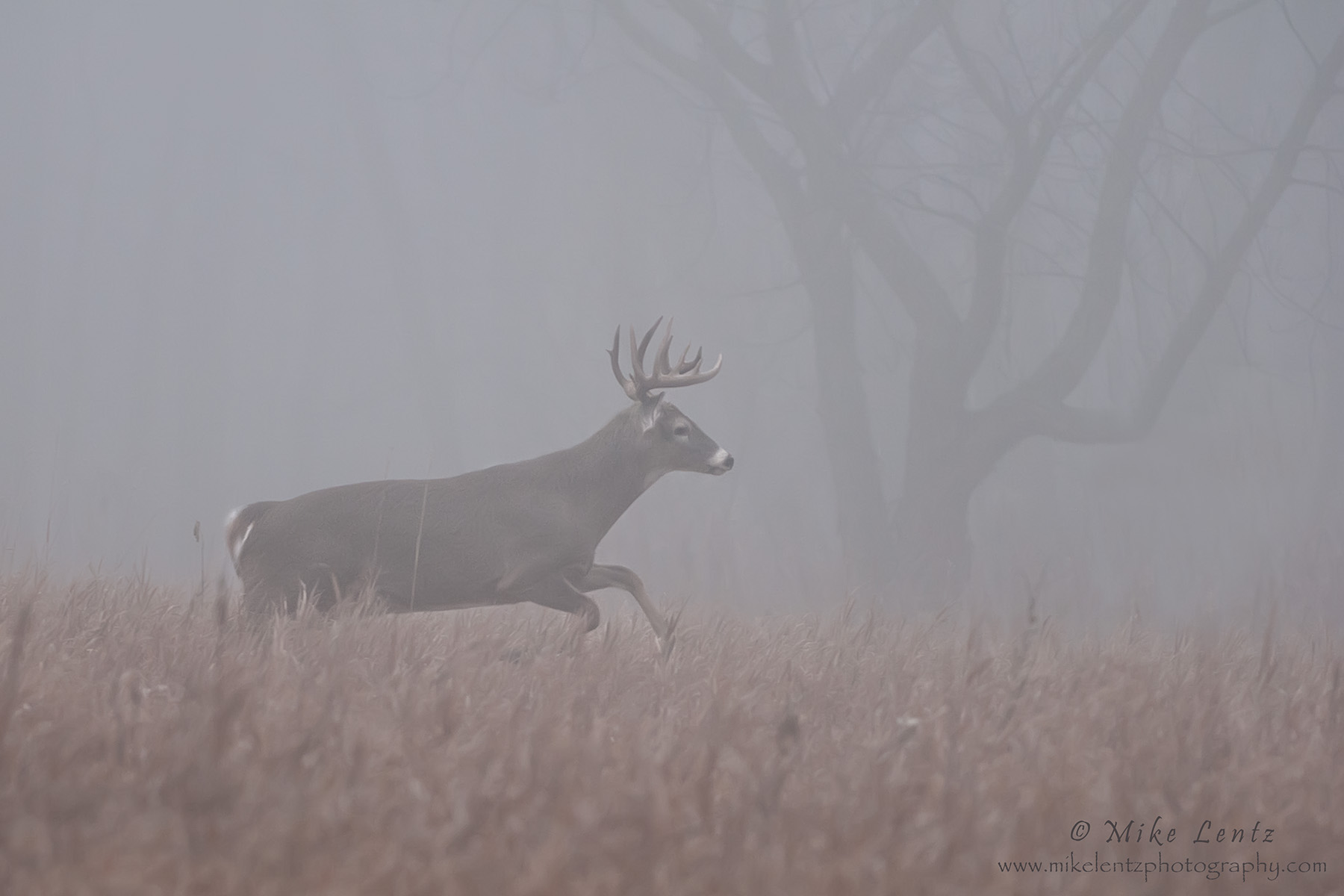 Buck runs in fog