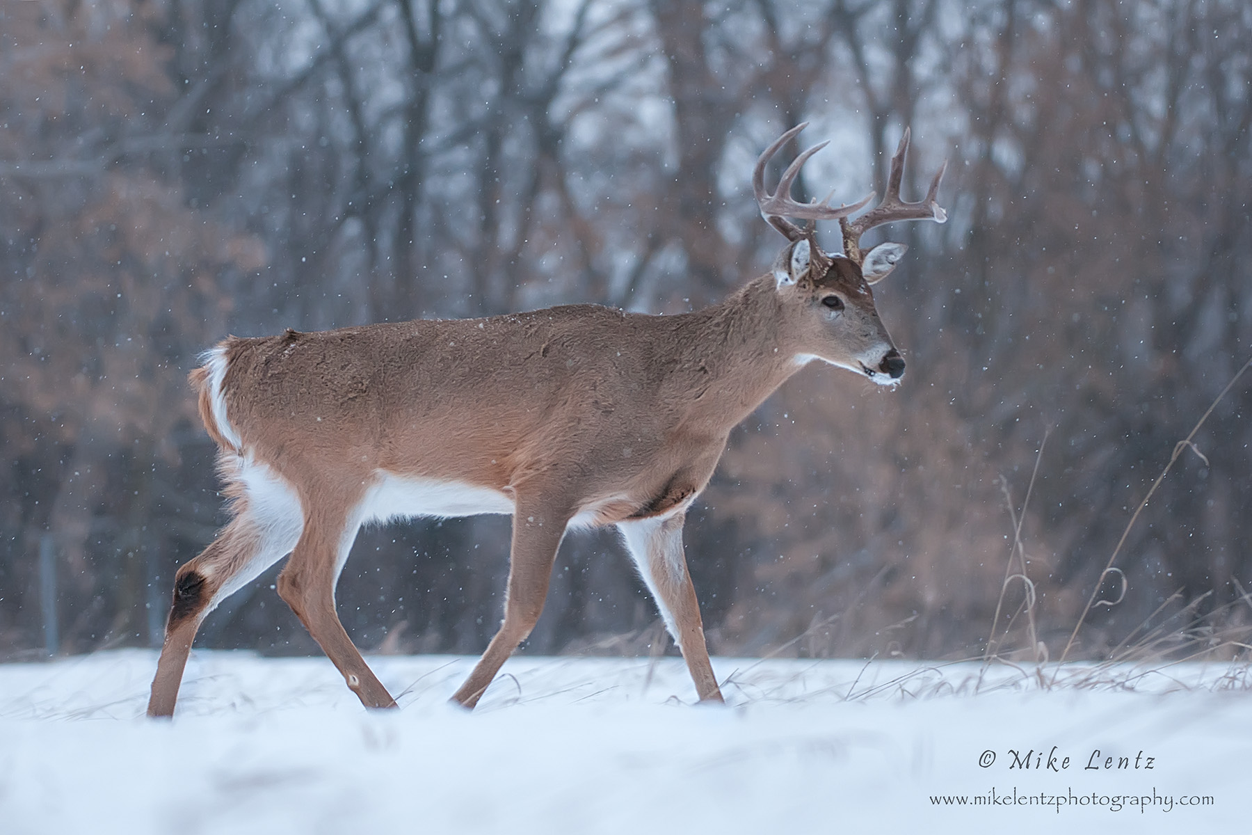Buck strolls in snowfall
