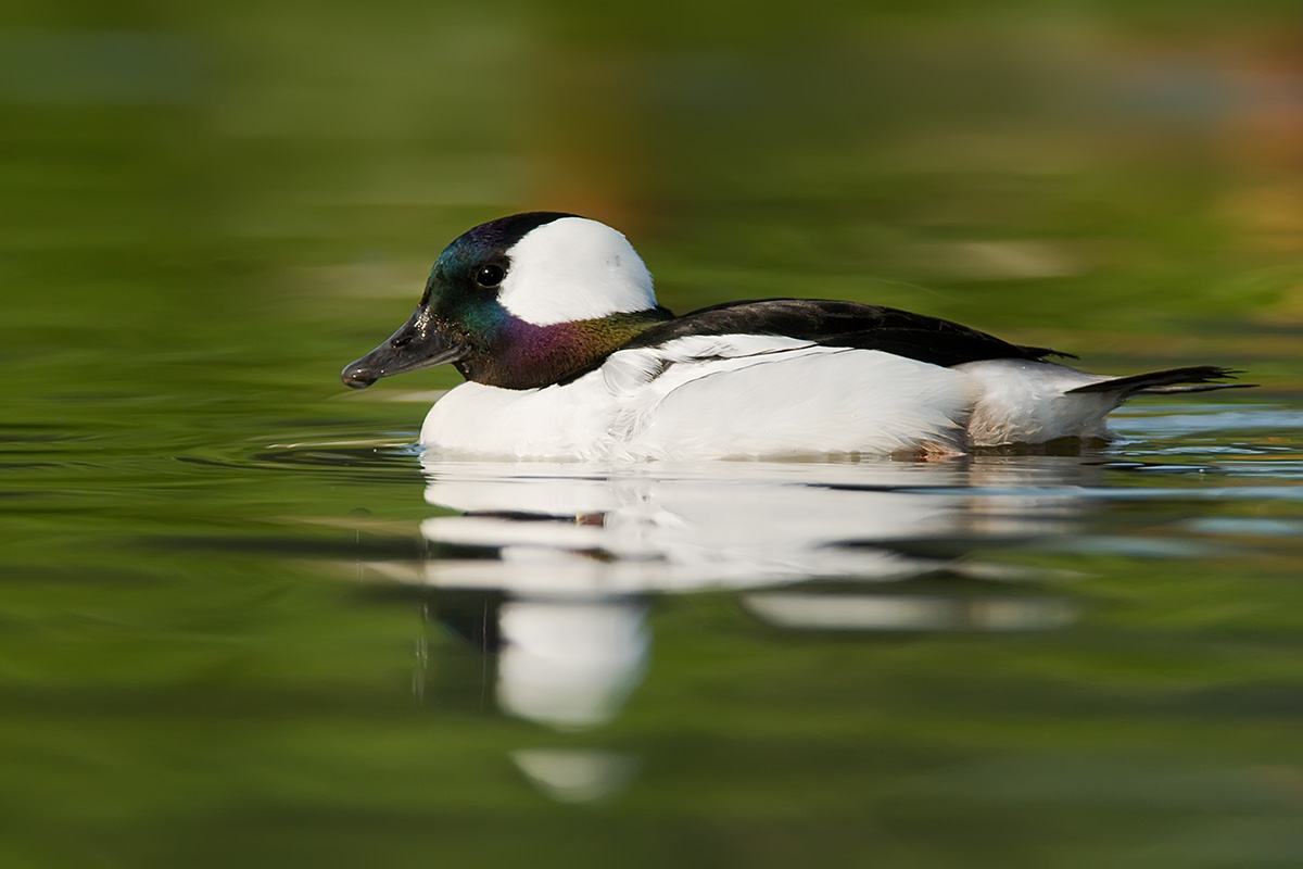 Bufflehead on green SLIDESHOW