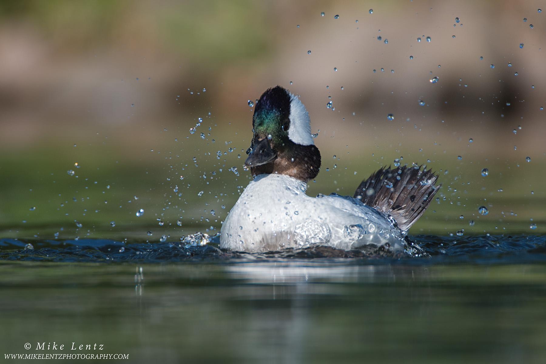 Bufflehead splashdownPS2