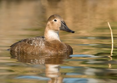 Canvasback Hen near reed