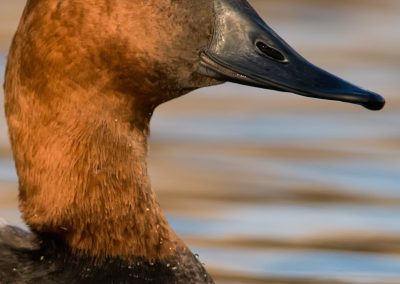 Canvasback headshot