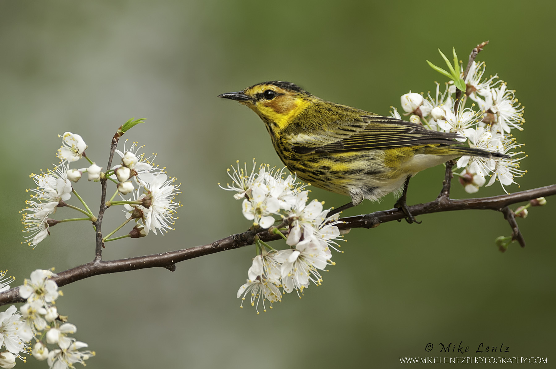 Cape May Warbler on Plum tree buds