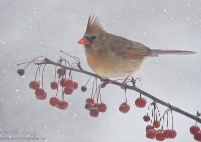 Cardinal FM in snowberries slideshow