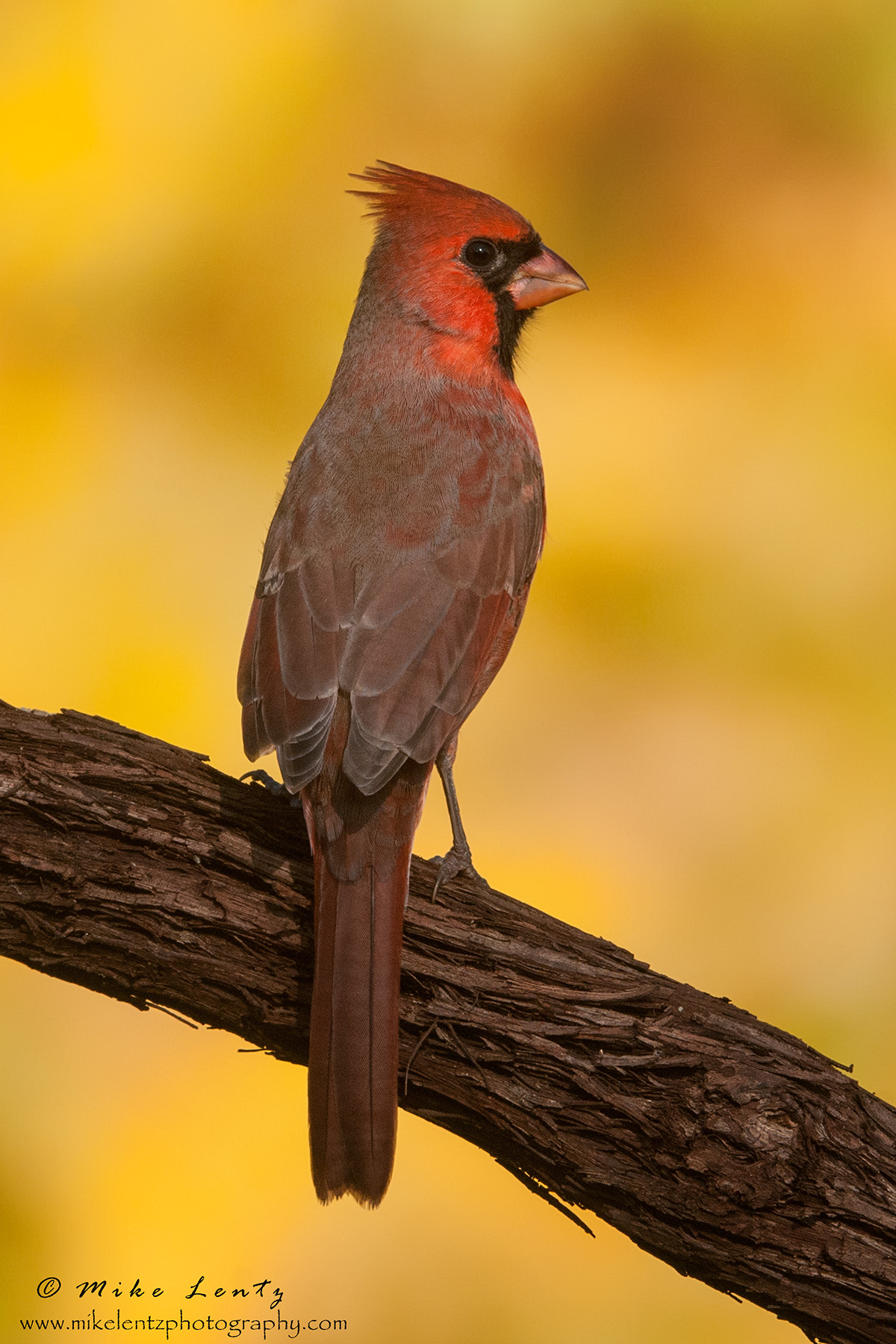 Cardinal alert fall verticle