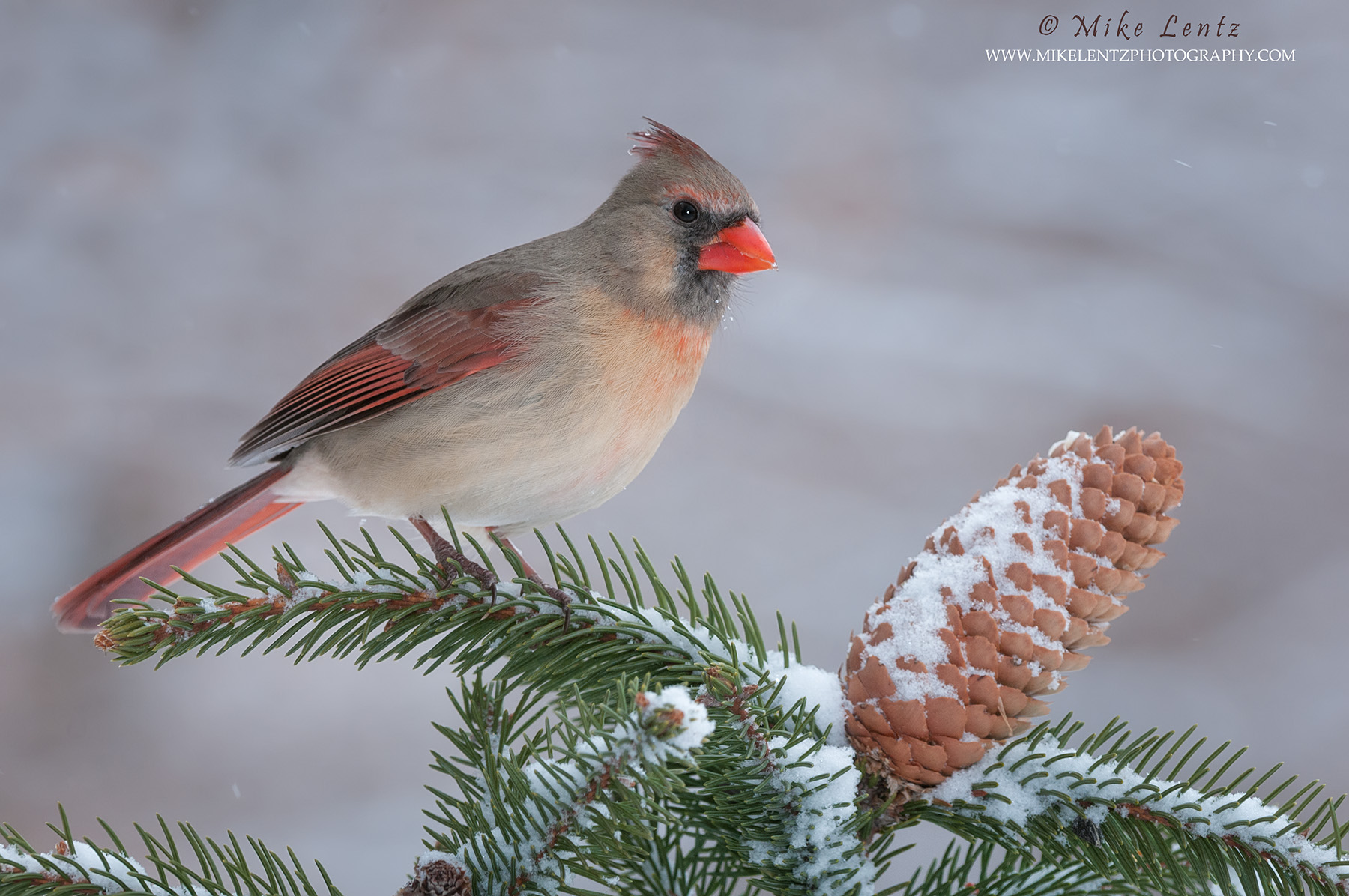 Cardinal female on snowy pine tree