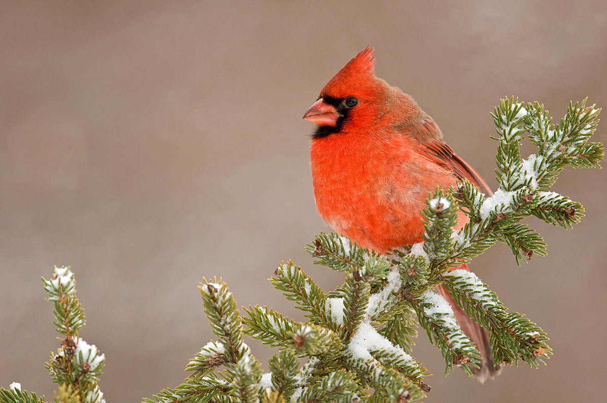 Cardinal male on winter pines SLIDESHOW