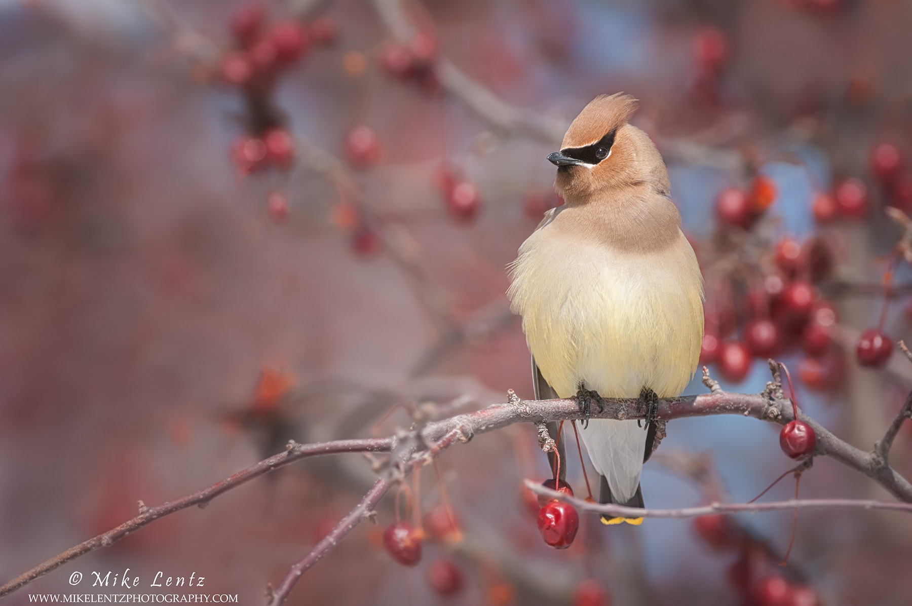 Cedar Waxwing in berries horizontal