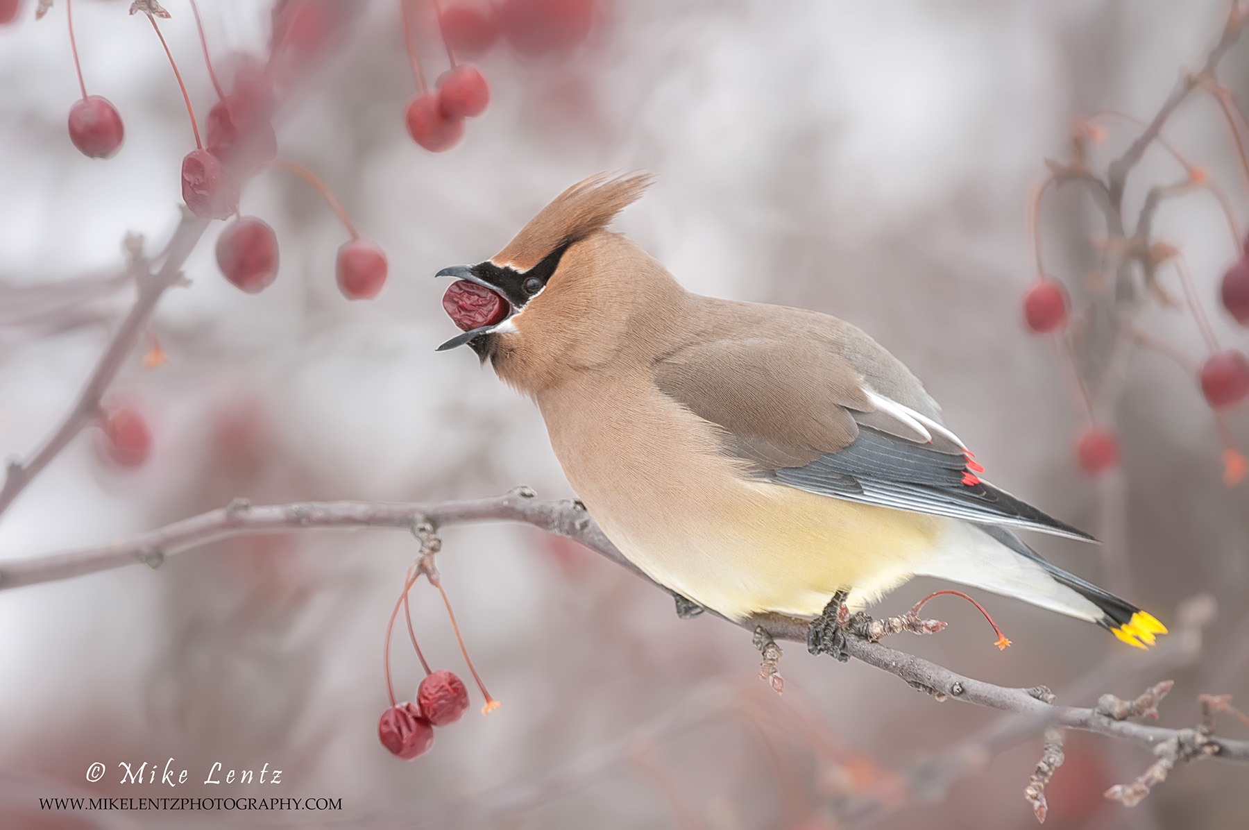 Cedar waxwing choking a berry down AGAIN