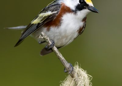 Chestnut sided warbler verticle