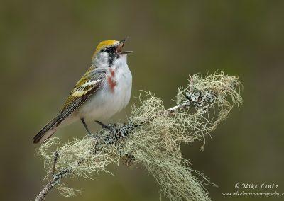 Chestnut warbler sings