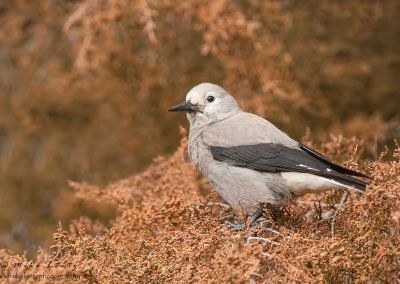 Clarks Nutcracker in dead pine