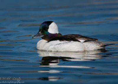 Common Goldeneye blue waters