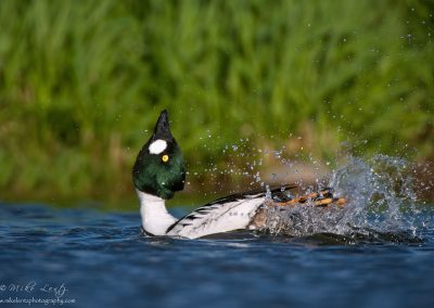 Common Goldeneye display