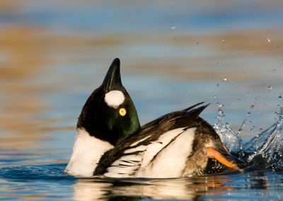 Common Goldeneye head toss