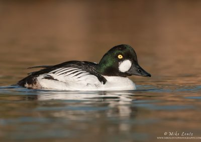 Common Goldeneye on brozed waters