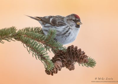 Common Redpoll hanging on pines