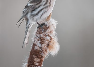 Common Redpoll on Cattail