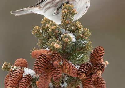 Common Redpoll on pine tree top