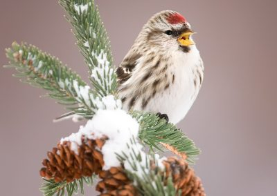 Common Redpoll singing on winter pines