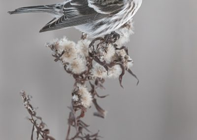 Common Redpoll verticle on brown plant