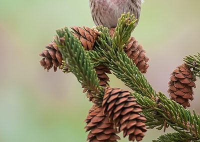 Common Redpoll verticle on pines