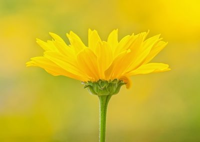 Coreopsis field BIC