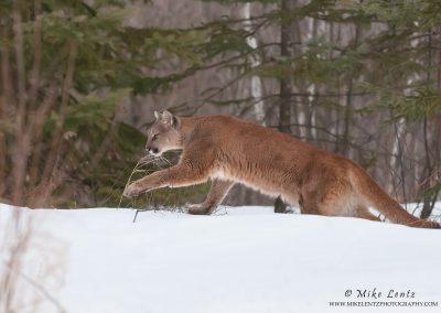 Cougar across forest floor in winter