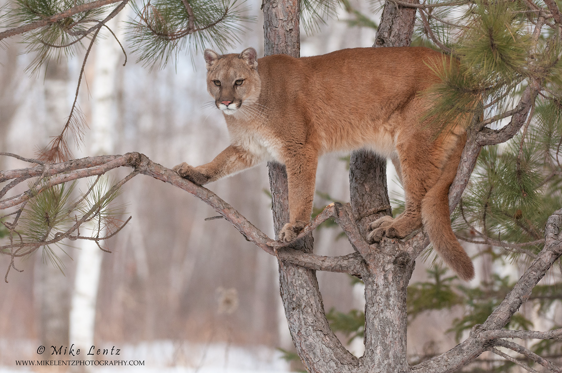 pine prairie cougars personals The piney woods is a temperate coniferous forest  nine-banded armadillos, white-tailed deer, north american cougars, gray  with many legends dating back to .