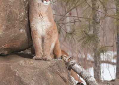 Cougar verticle on rocks in snow