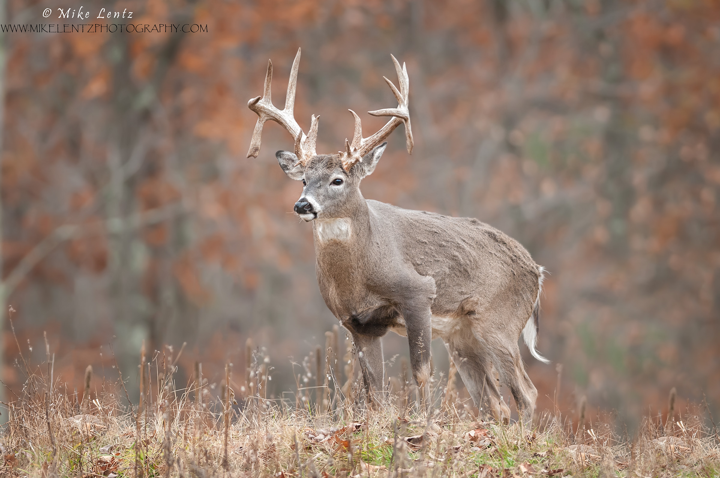 white tailed deer mike lentz nature photography