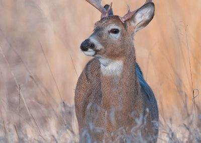 Deer verticle WW SLIDESHOW