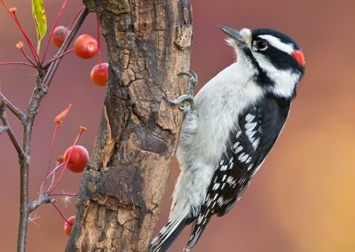 Downy Woodpecker fall colors