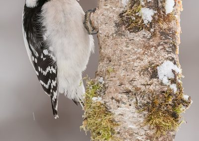Downy Woodpecker on birch