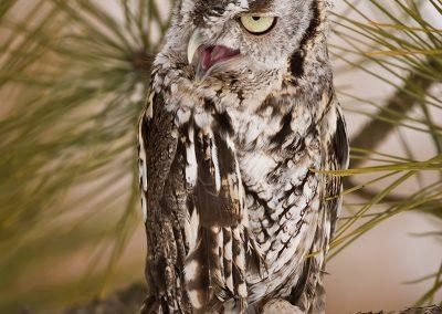 Eastern Screech Owl grey SLIDESHOW