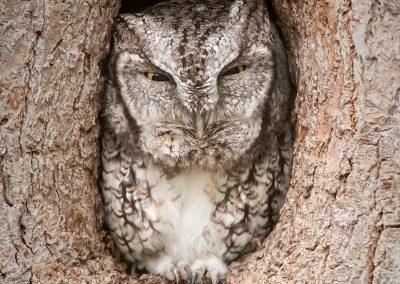 Eastern Scvreech Owl wild cavity