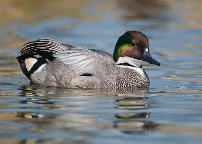 Falcated Duck SLIDESHOW