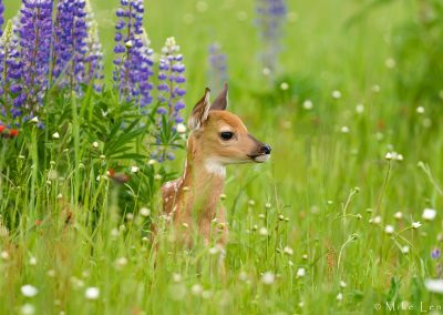 Fawn buried in Lupine