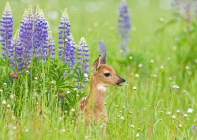 Fawn in lupine LAKEVILLE