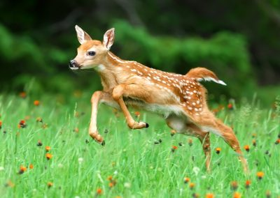 Fawn leaps away MASTER