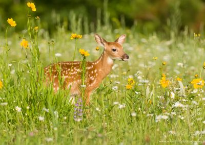Fawn portrait in flowers